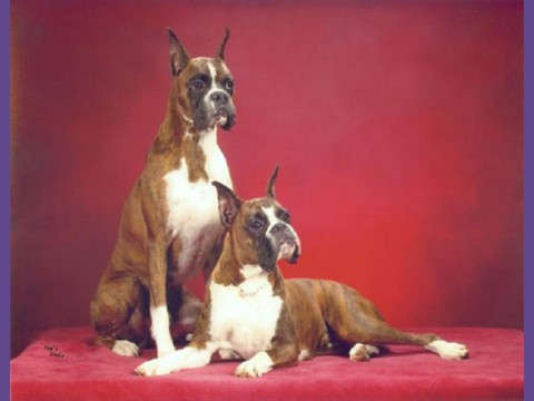 2004 ABC National -- Littermates -- Am/Can Ch. Breho I Bee Shinin', SOM & Am/Can. Ch Breho I Bee Jam'n At Keepsake, CGC